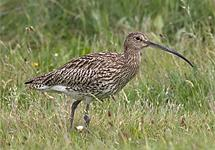 Curlew (Numenius arquata)