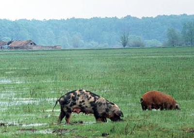 Pigs in Sava floodplain