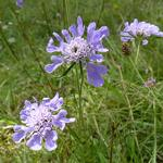 Small scabious (Scabiosa colombaria)