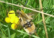 Narrow-bordered bee hawkmoth Hemaris tityus